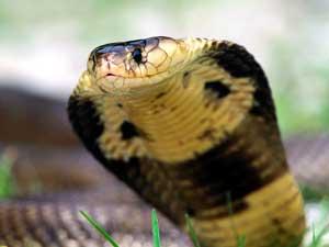 Benarkah-darah-kobra-membuat-ereksi-maksimal-klinik-lelaki