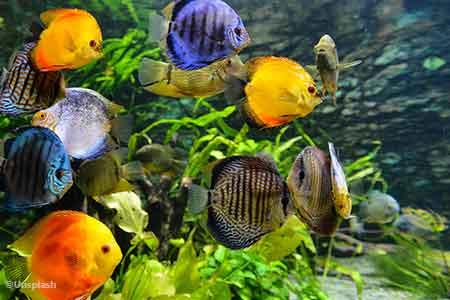 memelihara ikan impotensi